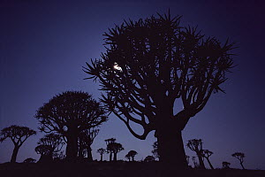 Quiver Tree (Aloe dichotoma) backlit by moon, Namibia - Jim Brandenburg