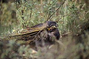 American Beaver (Castor canadensis) carrying cut branches used to build its lodge, Alaska  -  Michio Hoshino