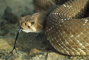 Red Rattlesnake (Crotalus ruber) with tongue extended, Baja California, Mexico - Larry Minden