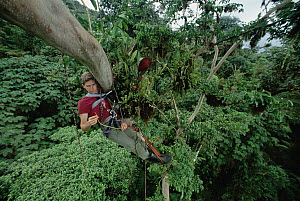 Cristian Samper examines the initial descending root of a Clusia hemiepiphyte in rainforest canopy, La Planada, Colombia  -  Mark Moffett