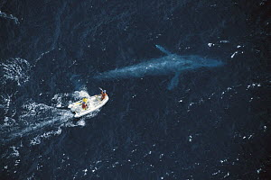 Blue Whale (Balaenoptera musculus) researcher Bruce Mate attempting to satellite tag whale, California  -  Flip Nicklin