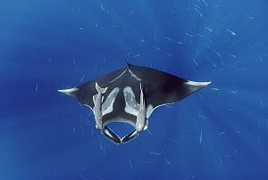 Manta Ray (Manta birostris) with two Remora (Remora remora) attached to it, Hallcion Reef, Cocos Island, Costa Rica - Flip Nicklin