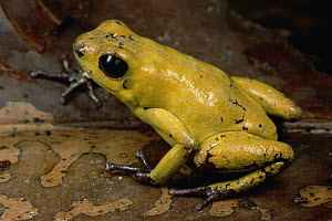 Black-legged Poison Dart Frog (Phyllobates bicolor) portrait, Colombia  -  Mark Moffett