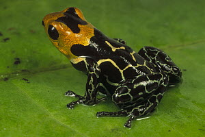 Red-headed Poison Frog (Dendrobates fantasticus), Amazonia, Ecuador  -  Mark Moffett