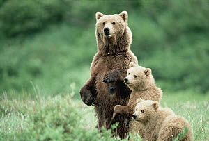 Grizzly Bear (Ursus arctos horribilis) mother standing with two cubs, Alaska  -  Michio Hoshino