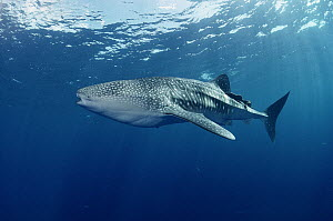 Whale Shark (Rhincodon typus) portrait, largest shark in the world, Cocos Island, Costa Rica - Flip Nicklin