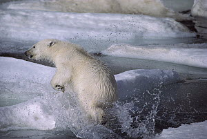 Polar Bear (Ursus maritimus) jumping out of water, Ellesmere Island, Nunavut, Canada  -  Jim Brandenburg