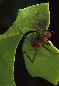 Leafcutter Ant (Atta laevigata) worker cutting Papaya leaf  -  Mark Moffett