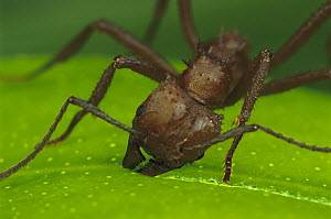 Leafcutter Ant (Acromyrmex octospinosus) worker cutting papaya leaf, Guadeloupe, Caribbean - Mark Moffett