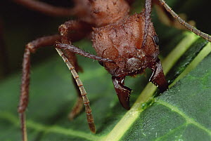 Leafcutter Ant (Acromyrmex octospinosus) worker cutting Papaya leaf, Honduras  -  Mark Moffett