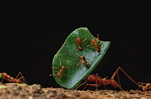 Leafcutter Ant (Atta cephalotes) worker carries leaf with its jaws full, workers carrying leaves must rely on a special cast of smaller ants riding on the leaves to defend against Phorid fly (Phoridae...  -  Mark Moffett