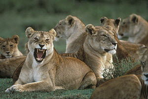 African Lion (Panthera leo) pride with one female snarling, Serengeti National Park, Tanzania - Mitsuaki Iwago