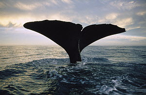 Sperm Whale (Physeter macrocephalus) tail at sunset, New Zealand - Flip Nicklin
