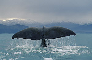 Sperm Whale (Physeter macrocephalus) tail, New Zealand - Flip Nicklin
