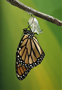 Monarch (Danaus plexippus) butterfly emerging from cocoon, Minnesota - Jim Brandenburg