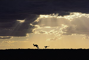 Red Kangaroo (Macropus rufus) pair with clearing storm at sunset, Sturt National Park, Australia  -  Mitsuaki Iwago