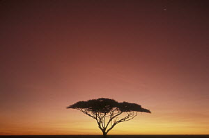 Whistling Thorn (Acacia drepanolobium) tree on savannah at sunset, Serengeti - Mitsuaki Iwago