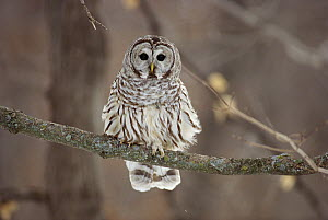 Barred Owl (Strix varia) sitting on branch, Minnesota - Jim Brandenburg