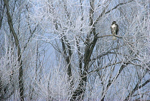 Red-tailed Hawk (Buteo jamaicensis) in icy tree, California  -  Larry Minden