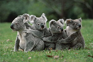 Koala (Phascolarctos cinereus) in a line on ground, Australia  -  Mitsuaki Iwago