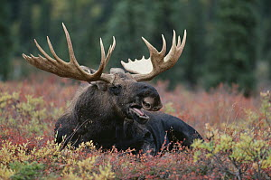 Alaska Moose (Alces alces gigas) male calling while reclining in autumn tundra, Alaska - Shin Yoshino