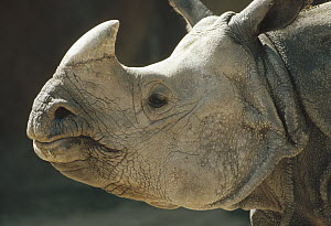 Indian Rhinoceros (Rhinoceros unicornis) portrait, India - Shin Yoshino