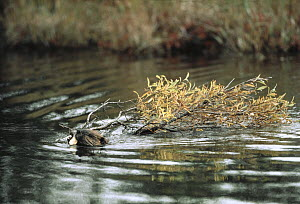American Beaver (Castor canadensis) swimming with tree branch, North America  -  Shin Yoshino