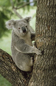 Koala (Phascolarctos cinereus) portrait in tree, Australia  -  Shin Yoshino
