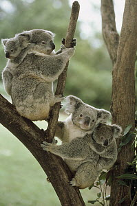Koala (Phascolarctos cinereus) mothers and babies in tree, Australia - Shin Yoshino