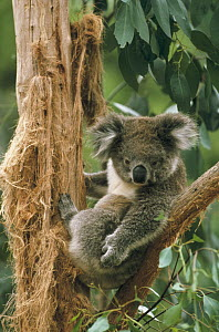 Koala (Phascolarctos cinereus) resting in tree, Australia  -  Shin Yoshino