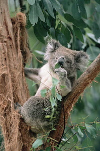 Koala (Phascolarctos cinereus) feeding on Eucalyptus, Australia  -  Shin Yoshino