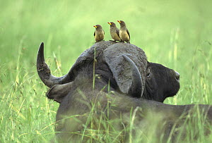 Yellow-billed Oxpecker (Buphagus africanus) trio sitting on Cape Buffalo's (Syncerus caffer) head, Kenya  -  Shin Yoshino