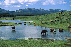 American Bison (Bison bison) herd drinking from lake, Yellowstone National Park, Wyoming  -  Shin Yoshino