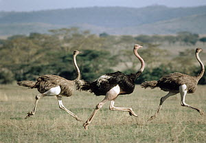 Ostrich (Struthio camelus) male and two females running, Serengeti National Park, Tanzania  -  Mitsuaki Iwago