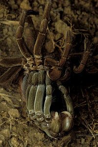 Ecuadorian Brown Velvet Tarantula (Megaphobema velvetosoma) shedding its skin (cuticle), Ecuador  -  Mark Moffett