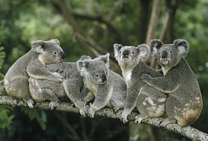 Koala (Phascolarctos cinereus) group sitting on branch, Lone Pine Koala Sanctuary, Brisbane, Australia  -  Shin Yoshino