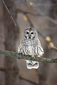 Barred Owl (Strix varia) perching in tree, Minnesota - Jim Brandenburg