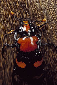 American Burying Beetle (Nicrophorus americanus) female on fur, North America  -  Mark Moffett