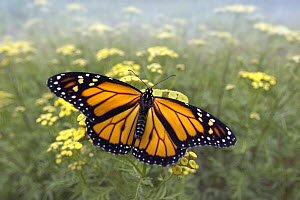 Monarch (Danaus plexippus) butterfly, Minnesota - Jim Brandenburg