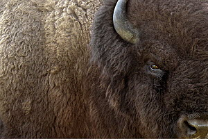 American Bison (Bison bison) male, Blue Mounds State Park, Minnesota - Jim Brandenburg