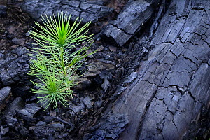 Jack Pine (Pinus banksiana) seedling sprouting after fire, Minnesota - Jim Brandenburg