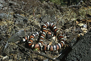 California Mountain Kingsnake (Lampropeltis zonata) portrait, non-venomous snake that mimics the venomous Coral Snake, native to western United States  -  ZSSD