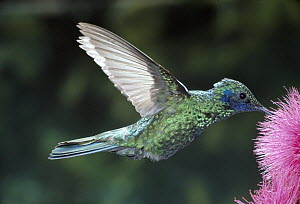 Broad-billed Hummingbird (Cynanthus latirostris) feeding at flowers, native to Mexico and southwest United States  -  ZSSD