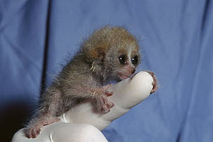 Pygmy Slow Loris (Nycticebus pygmaeus) baby clinging on to zoo worker's finger, native to Asia - ZSSD
