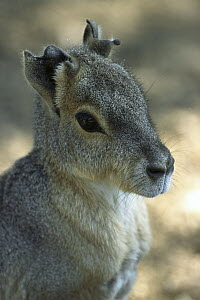 Patagonian Mara (Dolichotis patagonum) portrait, native to the Patagonian region of Argentina - ZSSD