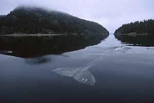 Gray Whale (Eschrichtius robustus) portrait of back as it skims surface of water, Clayoquot Sound, Vancouver Island, British Columbia, Canada - Flip  Nicklin