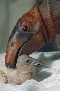 California Condor (Gymnogyps californianus) captive-bred chick being cared for with a puppet, native to North America  -  ZSSD