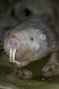 Naked Mole Rat (Heterocephalus glaber) portrait, native to Kenya, Ethiopia and Somalia  -  ZSSD