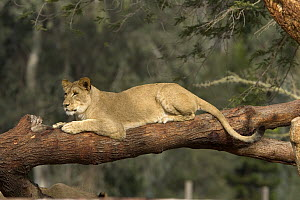 African Lion (Panthera leo), African Lioness resting on log, native to Africa  -  ZSSD