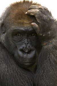 Western Lowland Gorilla (Gorilla gorilla gorilla) close-up adult portrait with hand on head, native to Africa - ZSSD